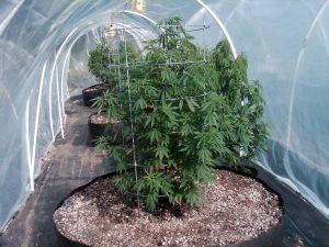 growing marijuana in Colorado